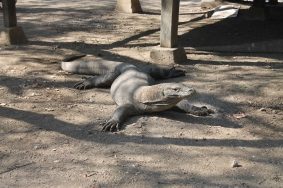 Naga Komodo